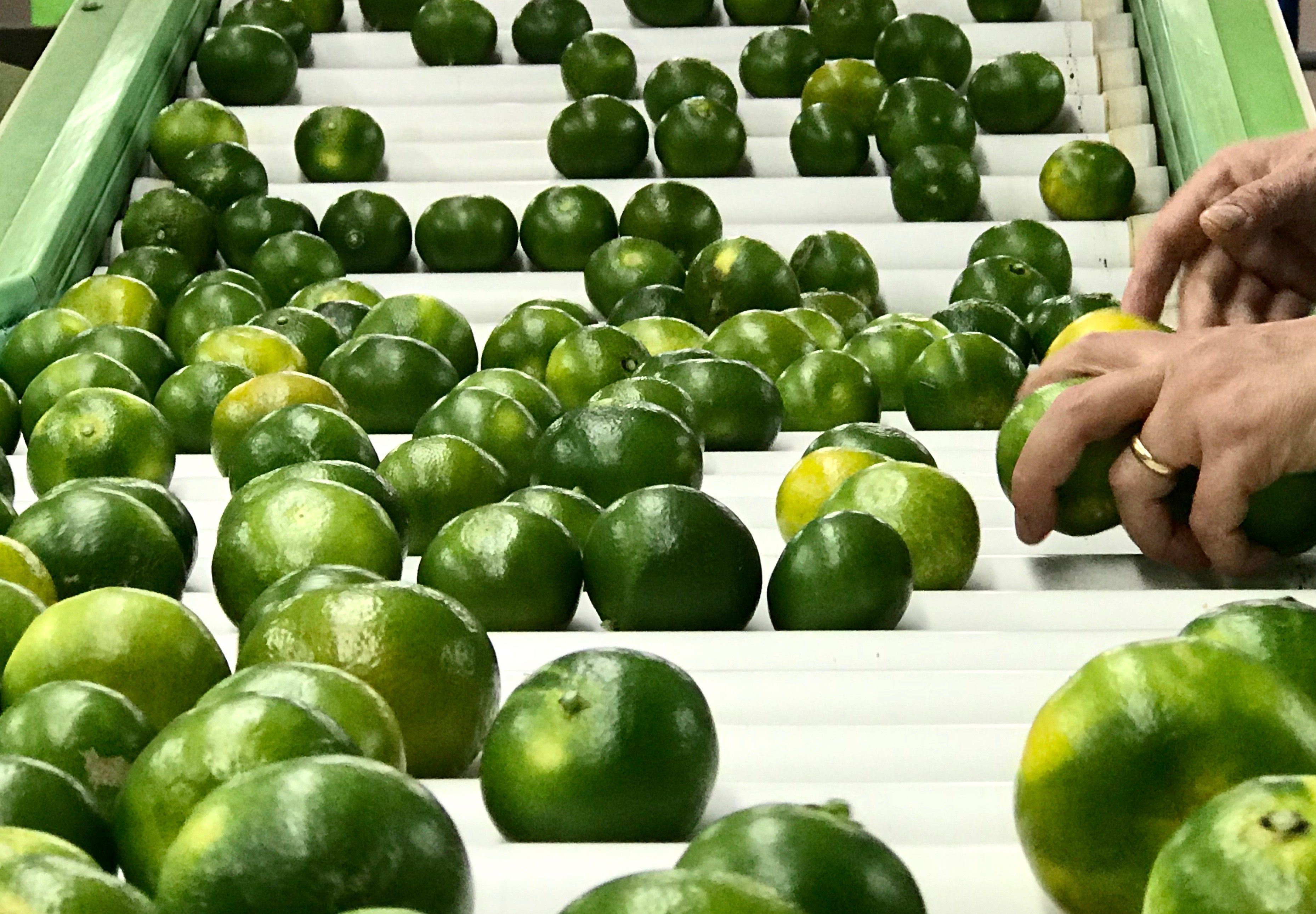 mandarino verde Miyagawa